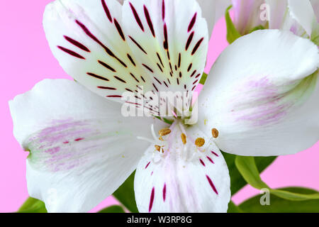 Close-up of white flower of alstroemeria, commonly called the Peruvian lily or lily of the Incas on a pink background. Flowers with white petals. - Stock Photo