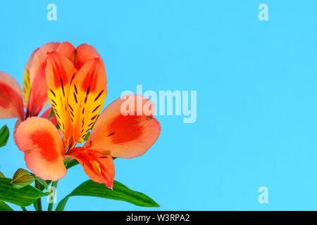 Close-up of orange flower of alstroemeria, commonly called the Peruvian lily or lily of the Incas and copy space on a blue background. - Stock Photo