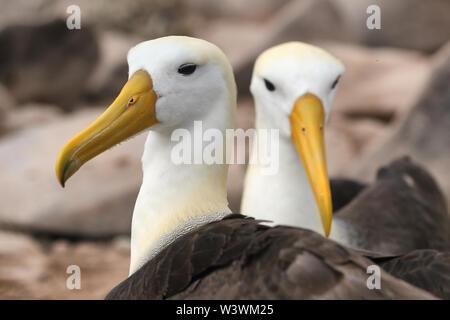 Galapagos Albatross aka Waved albatross pair nesting on Espanola Island, Galapagos Islands, Ecuador. The Waved Albatrosses is an critically endangered species endemic to Galapagos. - Stock Photo