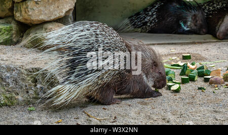 Indian crested Porcupine, Hystrix indica in a german zoo - Stock Photo