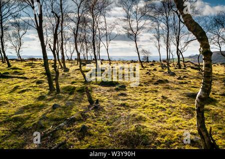 Backlit Silver Birch trees in bright sunshine at Gardom's Edge, near Baslow, Derbyshire - Stock Photo