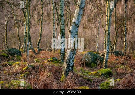 Silver Birch trees in bright sunshine at Gardom's Edge, near Baslow, Derbyshire - Stock Photo
