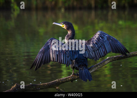 Great cormorant, Kormoran (Phalacrocorax carbo) - Stock Photo