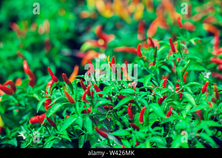 Close up of young Birds Eye Chili tree with its chilies in fresh green and red - Stock Photo