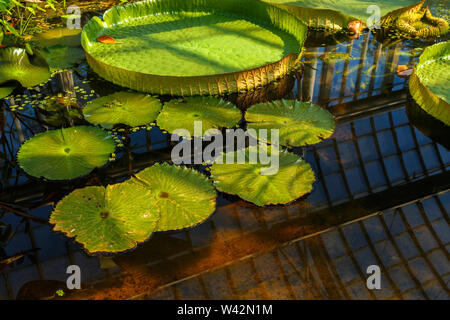 Large lily pads floating in a garden pond - Stock Photo