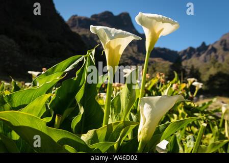 White lilies in early morning sunlight, around Marla village in the caldera of Cirque de Mafate, La Reunion. Flowers are Marsh Calla (Calla Pulustris) - Stock Photo