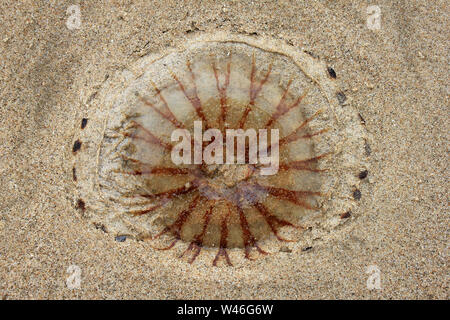 Compass Jellyfish Chrysaora hysoscella - Stock Photo