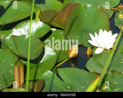 Close-up of the water lily called Colossea with its large cup-shaped flowers in white with a pinkish blush; popular ornamental plant for larger ponds. - Stock Photo