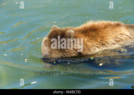 Juvenile grizzly bear in water with head submerged looking for fish. Grizzlies have carnivore digestive systems, however, they are omnivores. Their di - Stock Photo