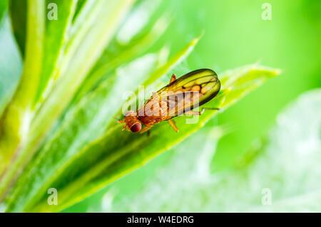 Exotic Drosophila Fruit Fly Diptera Insect on Plant Leaf - Stock Photo