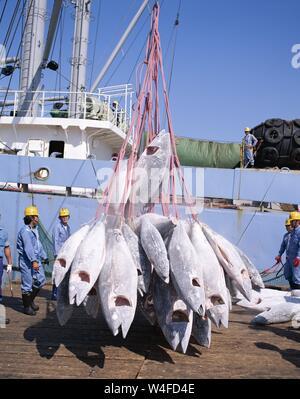 Japan, Honshu, Shimizu, Fishing Port, Frozen Tuna Being Unloaded from Fishing Boat - Stock Photo