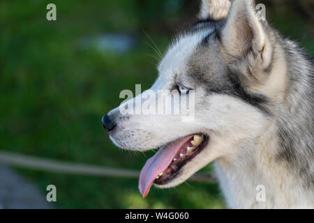 Siberian husky dog with blue eyes sits and looks aside, outdoors in the nature on a sunny day, close up - Stock Photo