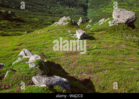 Pink rose rhododendron flowers and big rocky boulders on summer mountain slope. Carpathian, Chornohora, Ukraine. - Stock Photo