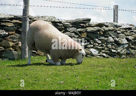 A sheep kneeling in order to eat particularly succulent grass - Stock Photo