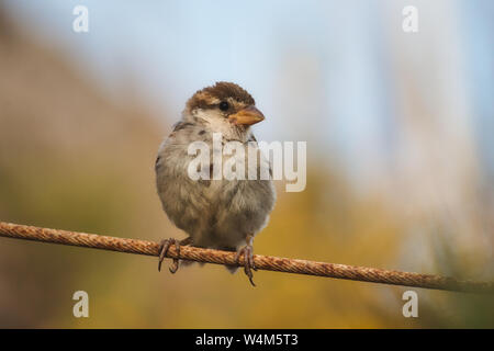 Sparrow perched on a wire in the countryside with a blurred background - Stock Photo