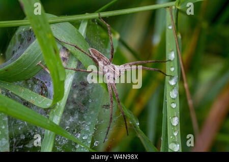 Female nursery web spider, Pisaura mirabilis, protecting her spiderlings in their web tent on a rainy day, UK - Stock Photo