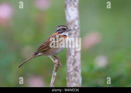 Perched Rufous-collared Sparrow (Zonotrichia capensis) with a blurry green background - Stock Photo