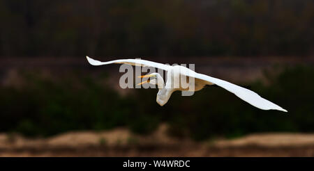 The Great White Egret has a nearly worldwide distribution, butis nowhere common. They usually hunt solitary and stand like statues - Stock Photo