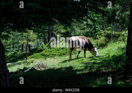 Cow grazing green grasse in a pine forest under the sun during the GR20 hike in Corsica, France - Stock Photo
