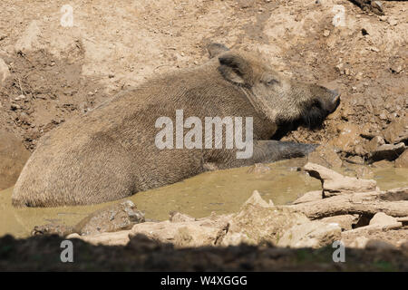 Wild boar sunbathing in the mud in a forest in the Ardennes - Stock Photo