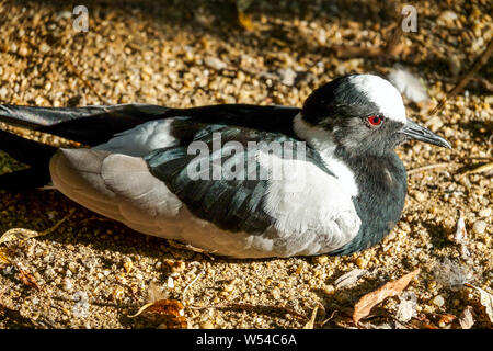 Blacksmith lapwing, Vanellus armatus - Stock Photo