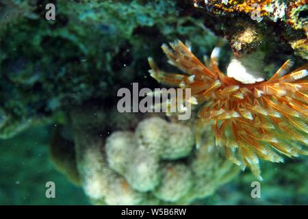 Magnificent Feather Duster worm (Sabellastarte magnifica), branchiae blowing in the current, Meads Bay, Anguilla, BWI. - Stock Photo