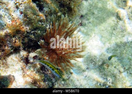 Magnificent Feather Duster worm (Sabellastarte magnifica) with fishy friends, Meads Bay, Anguilla, BWI. - Stock Photo