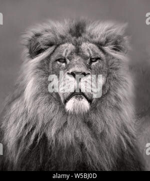 Head portrait of a male Lion in black and white - Stock Photo