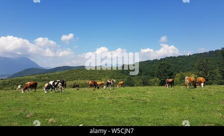 Landscape photo of some cows grazing in Romania - Stock Photo