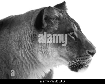 Black and white portrait of a female African lion (Panthera leo) with white background, full head, lateral - Stock Photo
