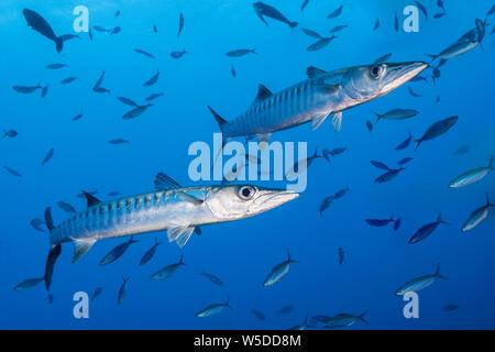 Blackfin Barracuda, Sphyraena qenie, Kimbe Bay, New Britain, Papua New Guinea - Stock Photo