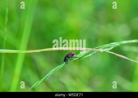 Garden foliage beetle  ( Phyllopertha horticola )  on plant in front of green nature with copy space - Stock Photo
