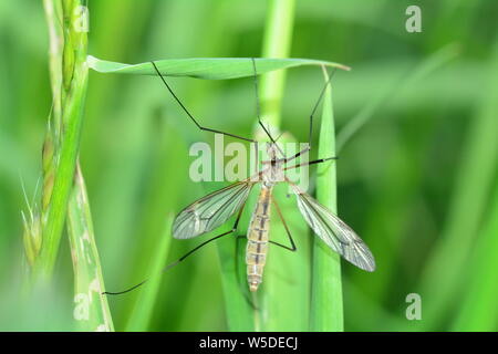 Marsh Crane Fly   -  Big Schnake   (  Tipula oleracea  )  on blade of grass in green nature with copy space - Stock Photo