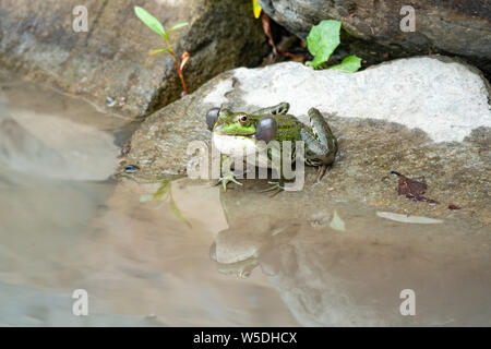 A large green frog with puffy cheeks sits on stone near the water - Stock Photo