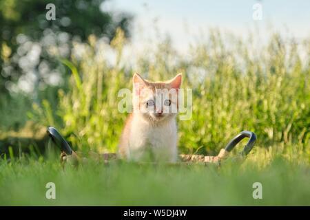 Cute little red fluffy kitten in basket on green sunny grass, golden hour - Stock Photo