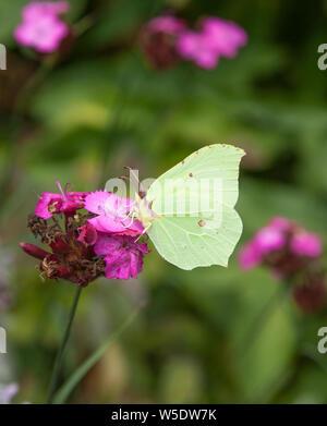 Brimstone butterfly Gonepteryx rhamni  on purple  flower head taking nectar  in summertime - Stock Photo