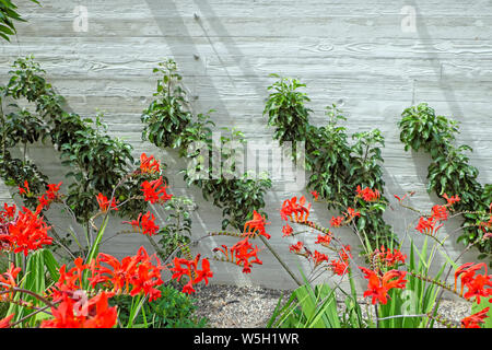Cordons growing against a wall and red crocosmia plants growing in a border at 120 Fenchurch St roofgarden in City of London England UK  KATHY DEWITT - Stock Photo