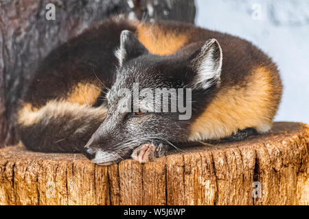 Arctic fox (Vulpes lagopus) resting on wooden surface, and looking to the left, with summer fur - Stock Photo