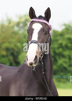 A head shot of a bay plaited horse in the show ring. - Stock Photo