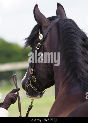 An abstract shot from behind a bay native pony showing off its eye. - Stock Photo