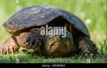 Common Snapping Turtle in green grass at Mason Farm in Chapel Hill, North Carolina - Stock Photo