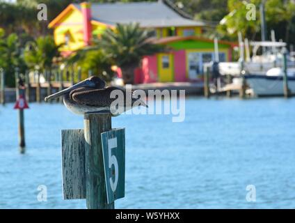 Florida brown pelican sitting on Number five (5) Intracoastal Waterway (ICW) channel marker post with tropical colored house or cottage, palm trees an - Stock Photo