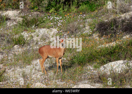 Steenbok, adult male, West Coast Nationalpark, Western Cape, South Africa, Africa, (Raphicerus campestris) - Stock Photo