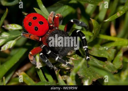 Ladybird spider (Eresus cinnaberinus) - Stock Photo