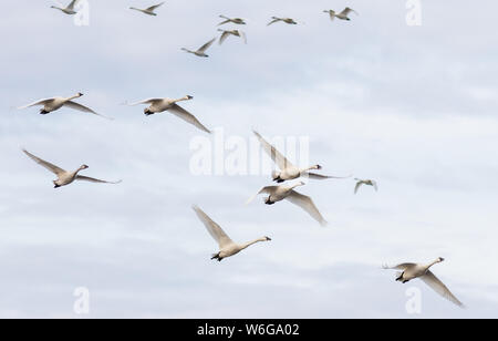 A group of Tundra Swan Cygnus columbianus in flight over the Pungo Unit of Pocosin Lakes National Wildlife Refuge in North Carolina. - Stock Photo