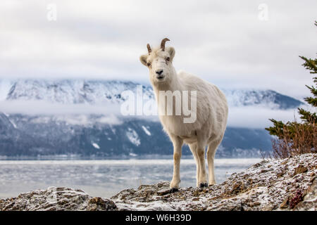 Dall sheep ewe (Ovis dalli) on the rocky hillside overlooking Turnagain Arm and near the Seward Highway at MP 107 in the winter with snow - Stock Photo