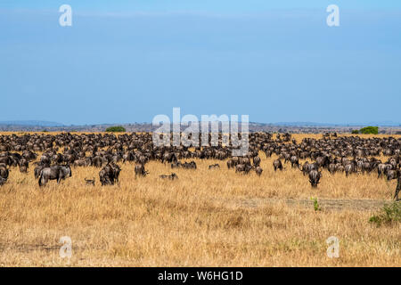 Dense herd of Wildebeest (Connochaetes taurinus) in the dry grasslands of the Serengeti Plains, Serengeti National Park; Tanzania - Stock Photo