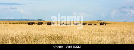 Panorama of elephant herd (Loxodonta africana) crossing grassy plain, Serengeti; Tanzania - Stock Photo
