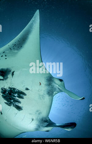 Micronesia Yap Island Manta Ray - Stock Photo