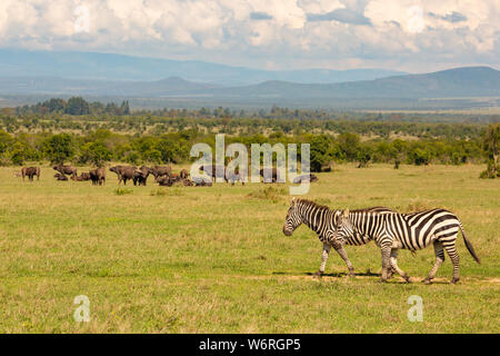 Colour landscape photograph of two Burchell's Zebra walking in foreground with herd of buffalo in background, taken on Ol Pejeta conservancy, Kenya. - Stock Photo